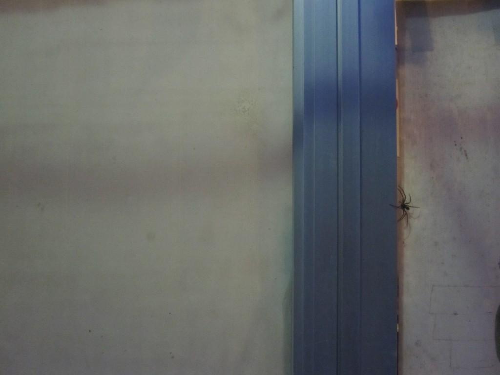 窓ガラスを歩くアシダカグモ