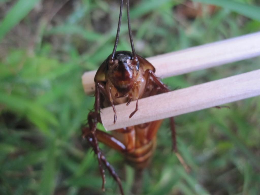 ワモンゴキブリの顔面アップ写真