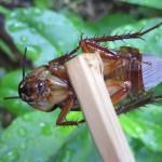 中国人はゴキブリを食べる?注文した料理が海老(エビ)の味がしたら勝手に昆虫食にされてた?