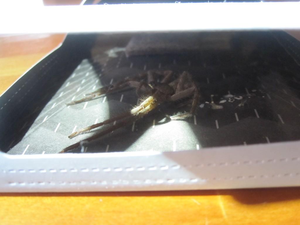 ゴキブリ捕獲器の窓から罠に掛かった獲物