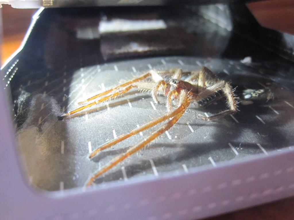 ゴキブリ捕獲器の罠に掛かってしまったアシダカグモ