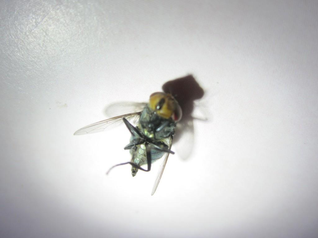 ハエ叩きの一撃を喰らって即死した銀バエ