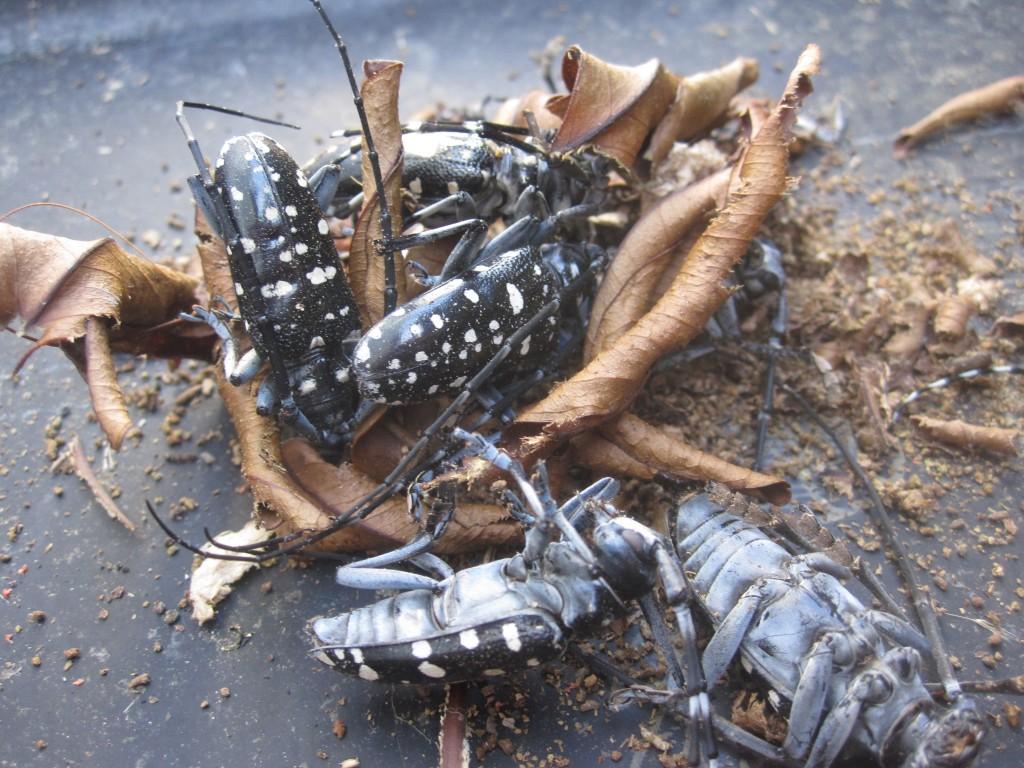 水分不足と暑さで死んだゴマダラカミキリ