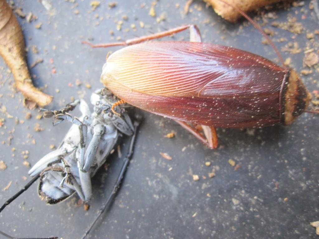 ゴマダラカミキリとワモンゴキブリの死骸