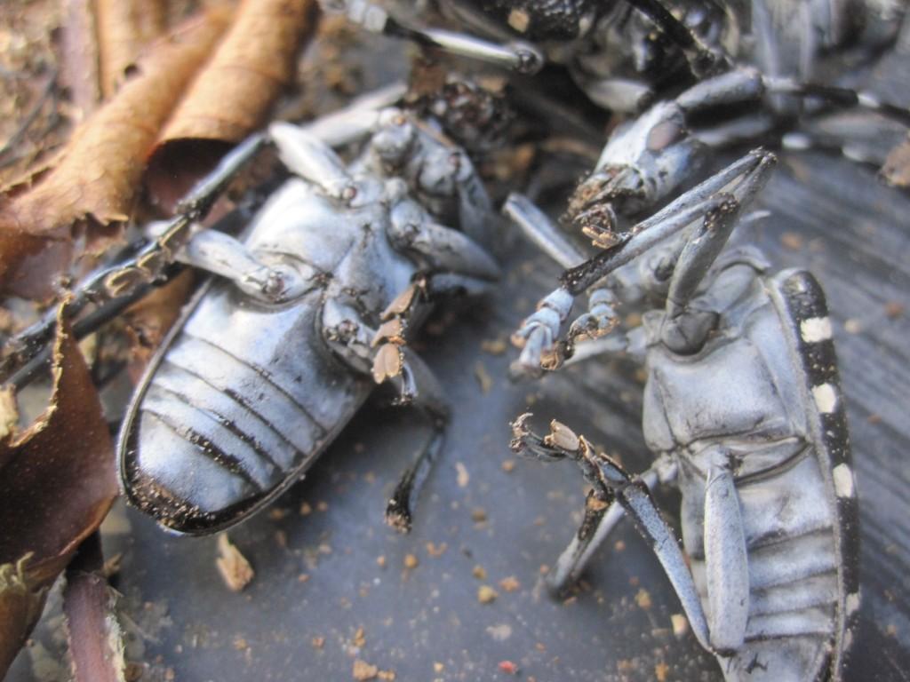 ゴマダラカミキリの硬直した死骸