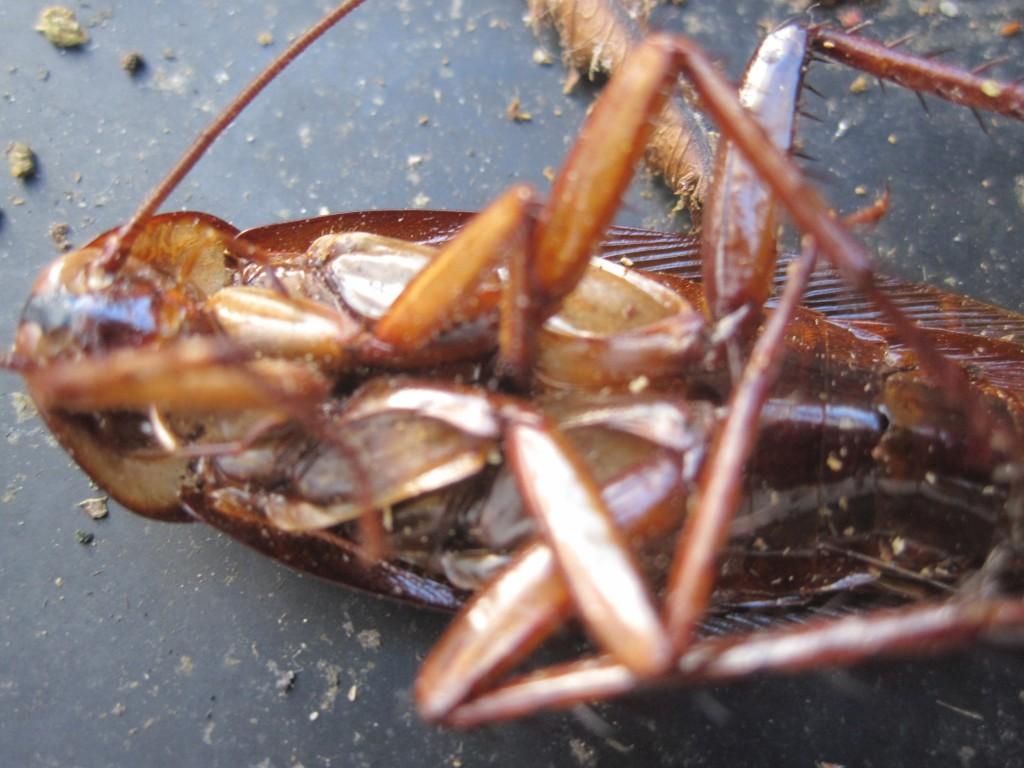 死後、仰向けになったワモンゴキブリ