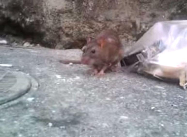食後の身だしなみを整えるドブネズミ