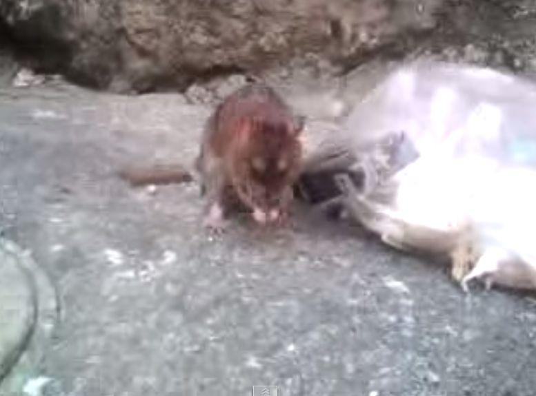 人間を恐れないドブネズミ