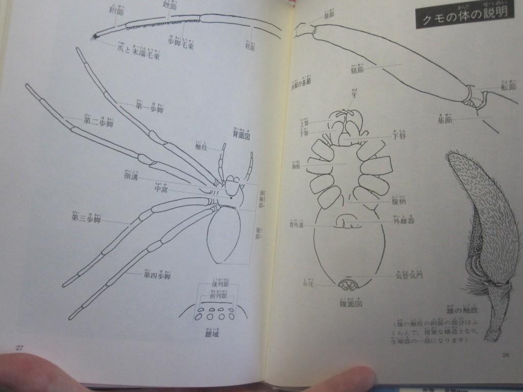 クモ(蜘蛛)の身体の説明図