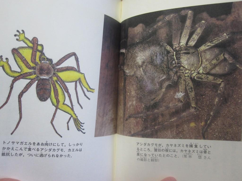 アシダカグモがカヤネズミを捕食した写真の掲載ページ