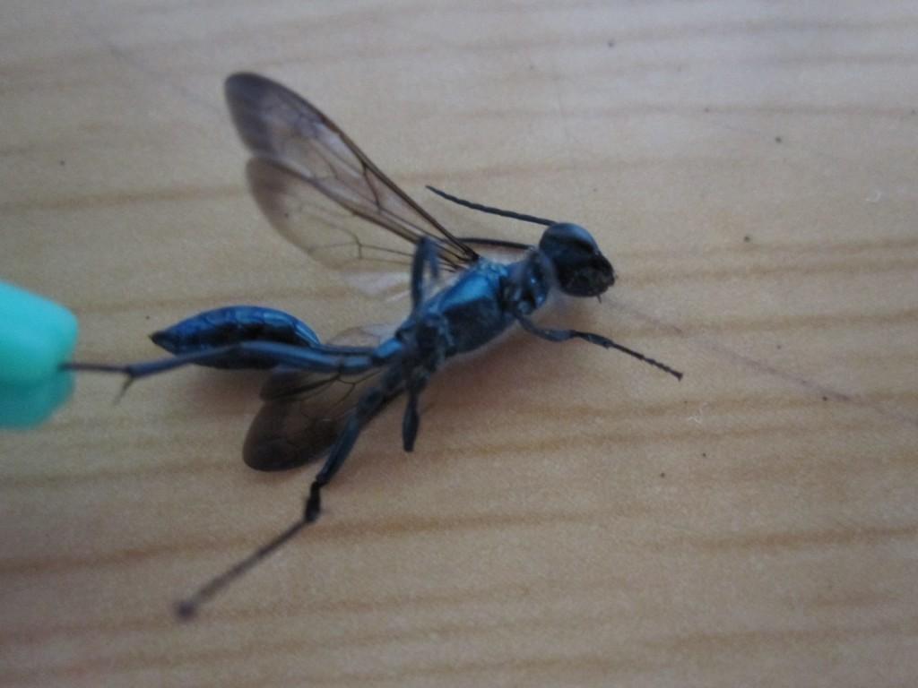 家屋内に侵入して駆除されたトックリバチ(蜂)