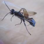 益虫のトックリバチを害虫と誤解して駆除した懺悔。