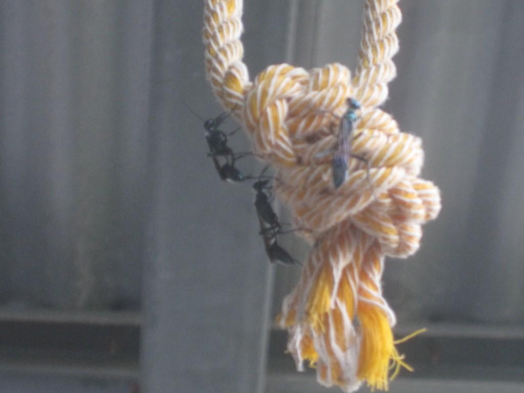 洗濯物を干すロープ(縄)に群がるトックリバチ(蜂)