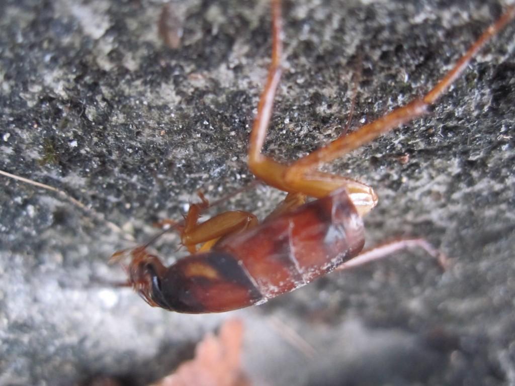 腹部より触覚の掃除が気ががりなゴキブリ