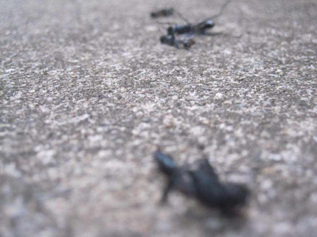 害虫駆除スプレーで死んだトックリバチ
