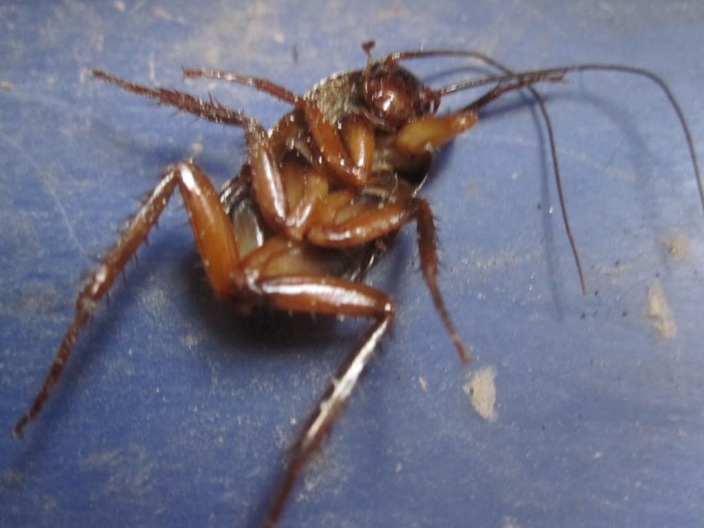 腹部のないゾンビゴキブリが死んだ死骸・死体