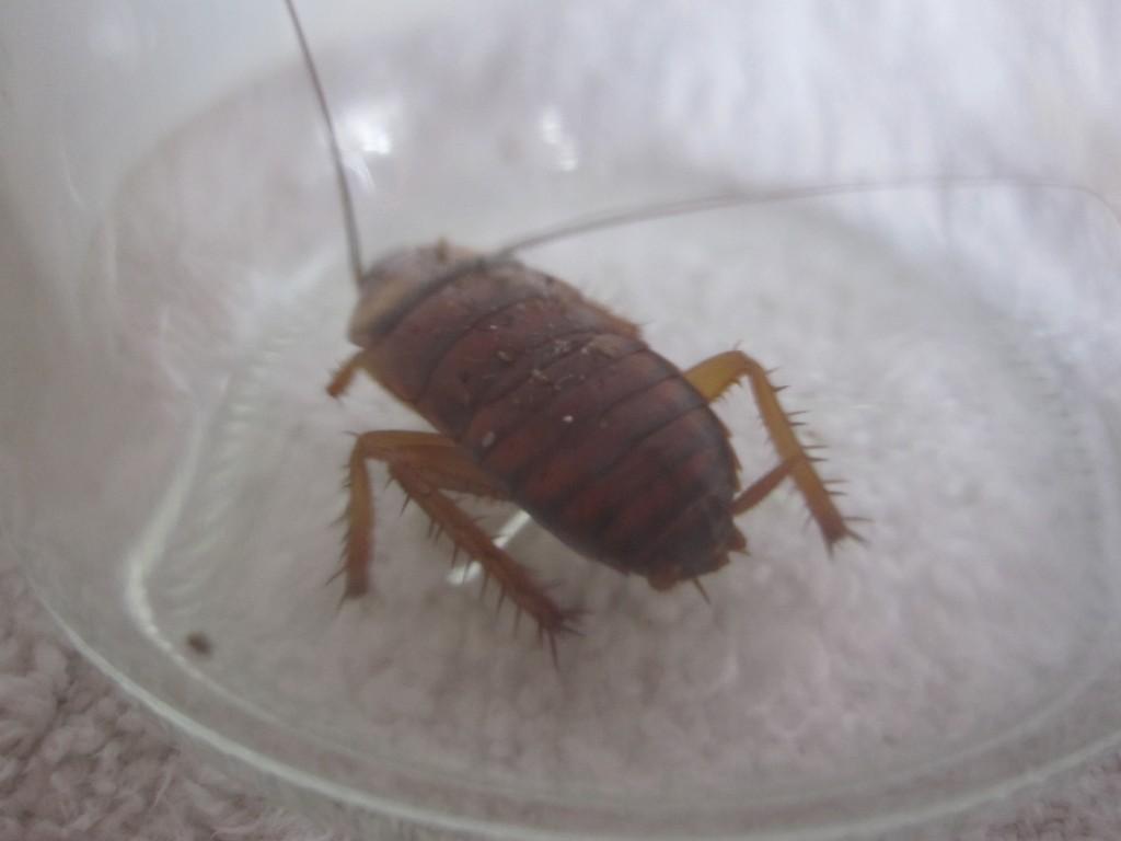 ゴキブリ粘着シートから脱出したワモンゴキブリの幼虫