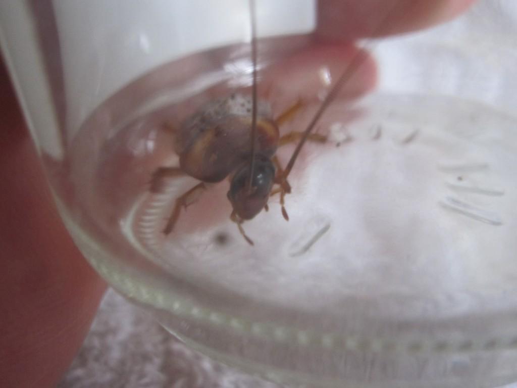 2本の触覚を激しく動かすワモンゴキブリ