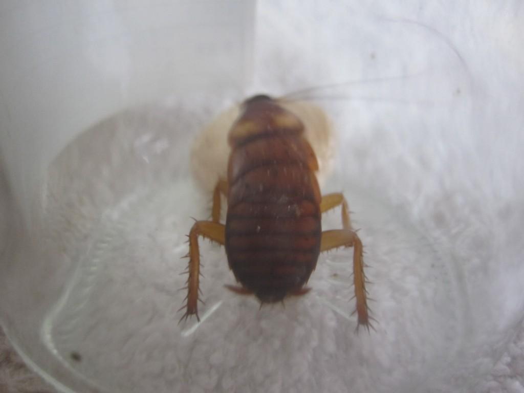 アシダカグモの卵に乗り触覚を激しく動かす