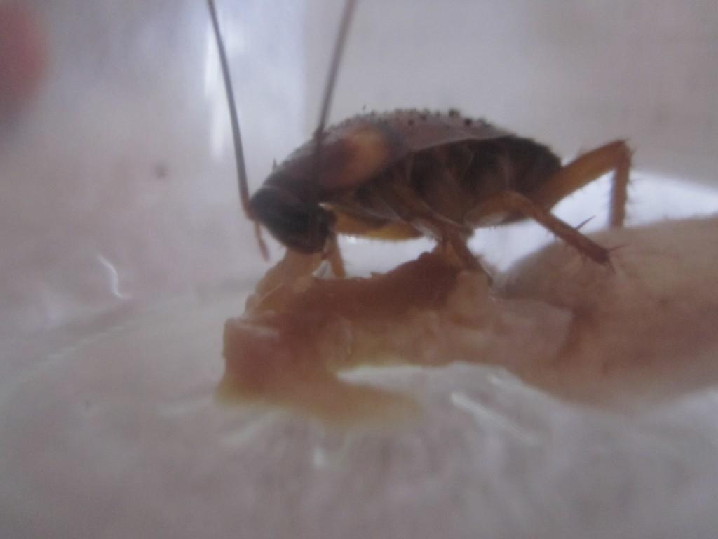 一心不乱に食べ続けるゴキブリの様子
