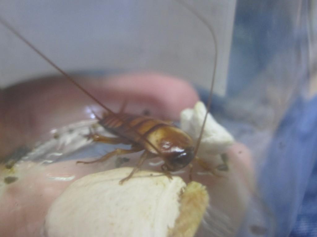 ワモンゴキブリの幼虫を餌にする
