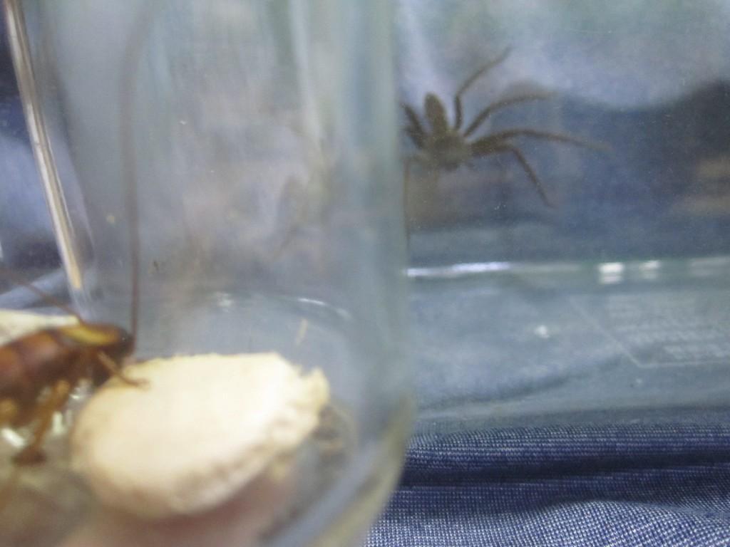 ワモンゴキブリを見つめるアシダカグモ