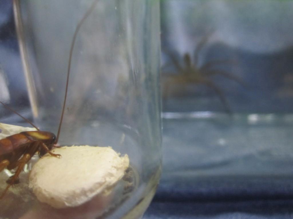 アシダカグモを見つめるワモンゴキブリ
