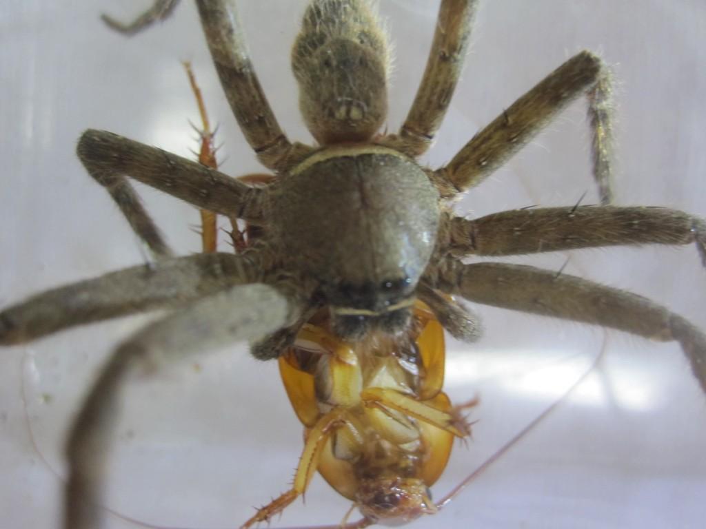 ジワジワとゴキブリを食べるアシダカグモ