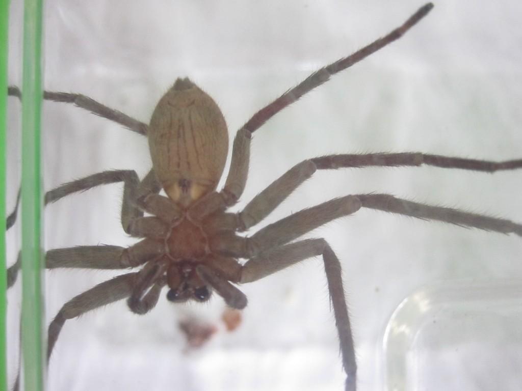 腹一杯にゴキブリを食べて満足御機嫌なアシダカグモ アシダカグモがゴキブリを捕食する証拠写真と動画