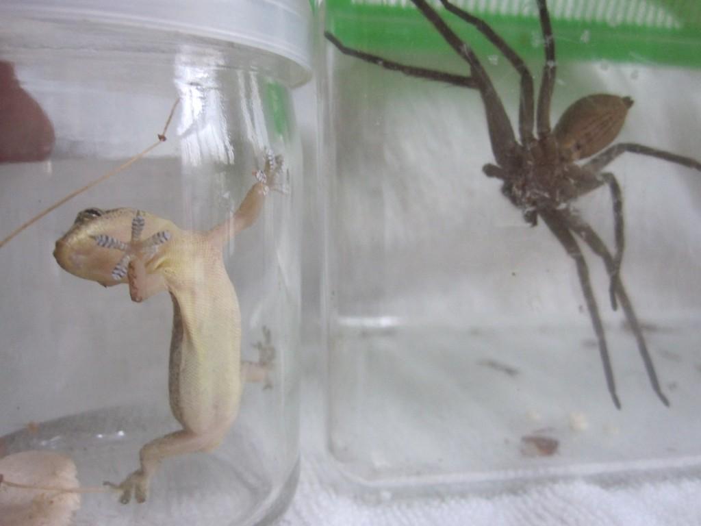 ヤモリとアシダカグモの対面した瞬間
