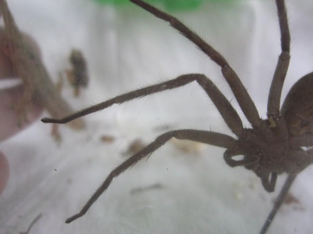 ヤモリを警戒して遠ざかるアシダカグモ
