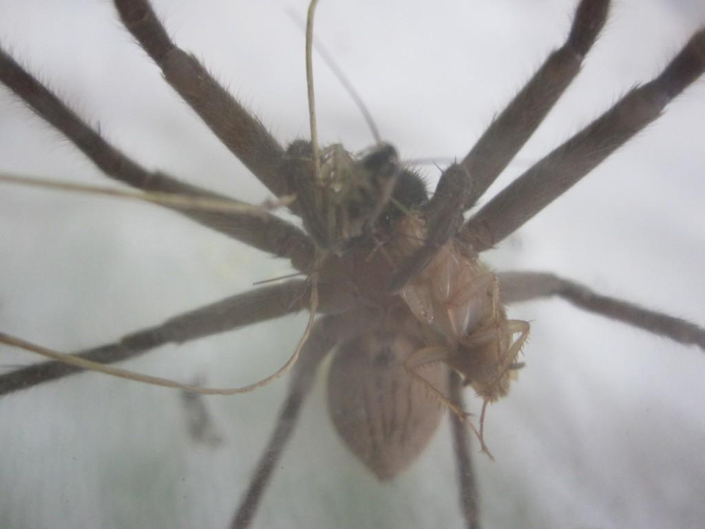 2匹のゴキブリを同時に食べ始めるアシダカグモ