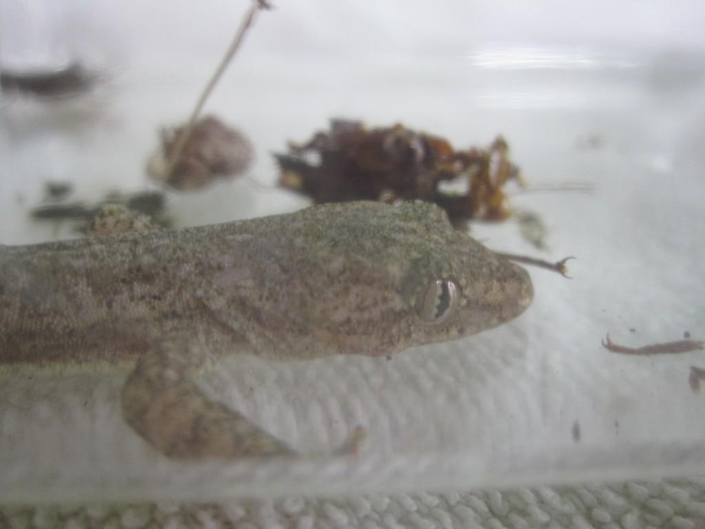アシダカグモの狩りの様子を観察するヤモリ(家守)
