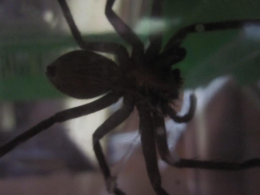 黙々とゴキブリを食べ続けるアシダカグモ
