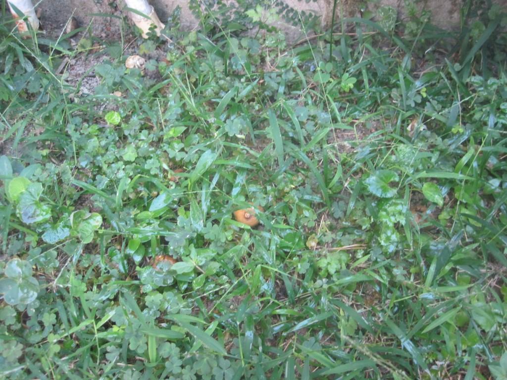 熱湯を注いで青臭さを発する雑草