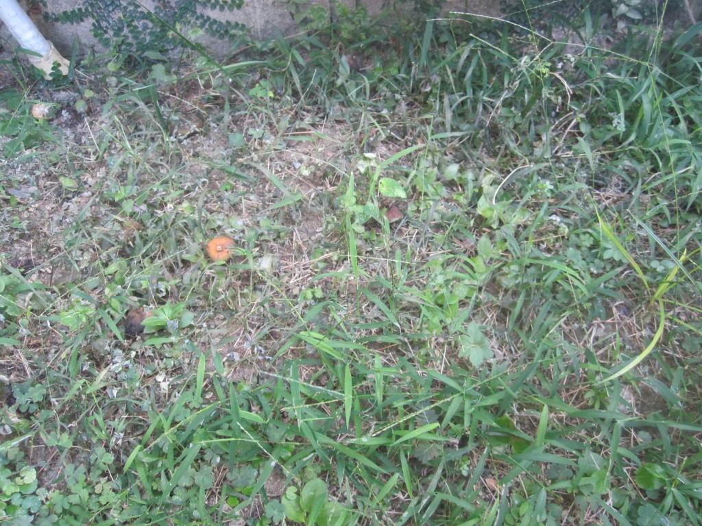 熱湯だけで雑草を枯らした部分