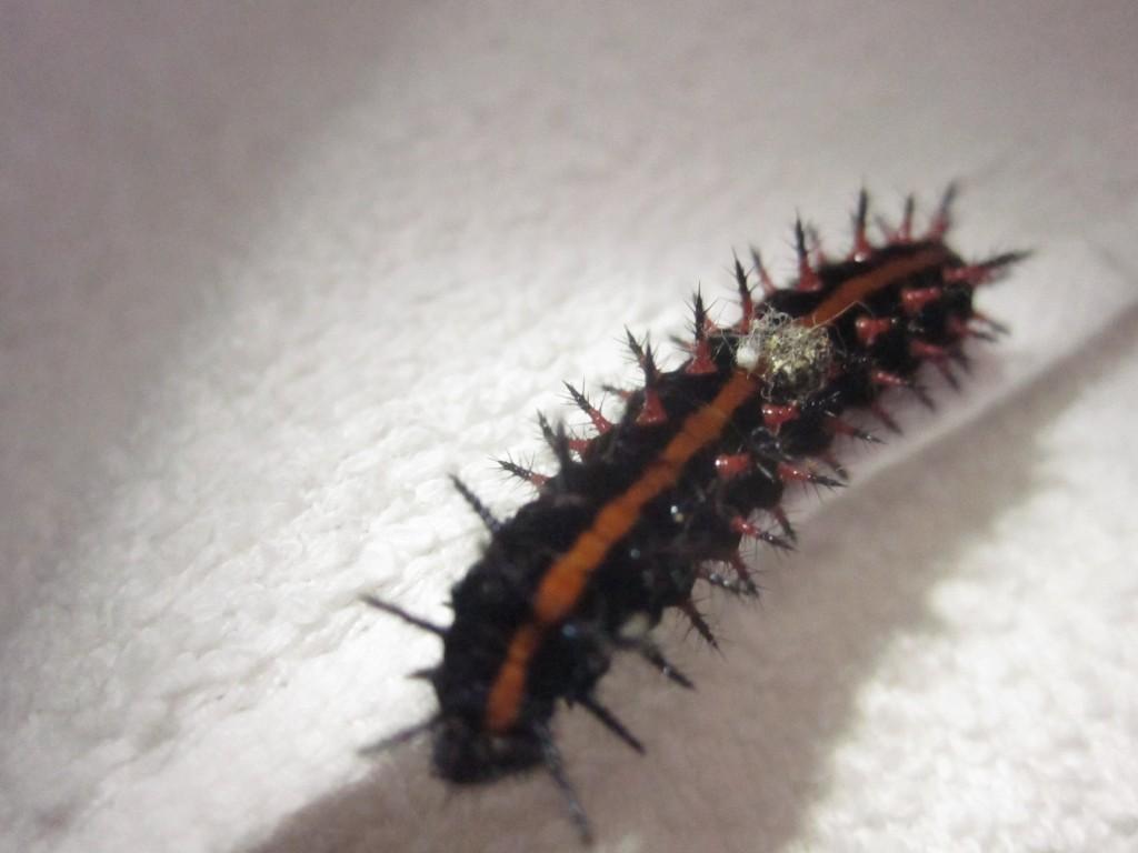 タオルの上を器用に歩くツマグロヒョウモンの幼虫
