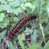 秋の風物詩 チョウチョ-ツマグロヒョウモンの幼虫