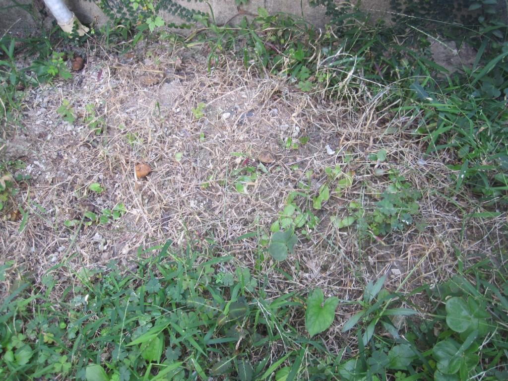 熱湯をかけて雑草を枯らした場所