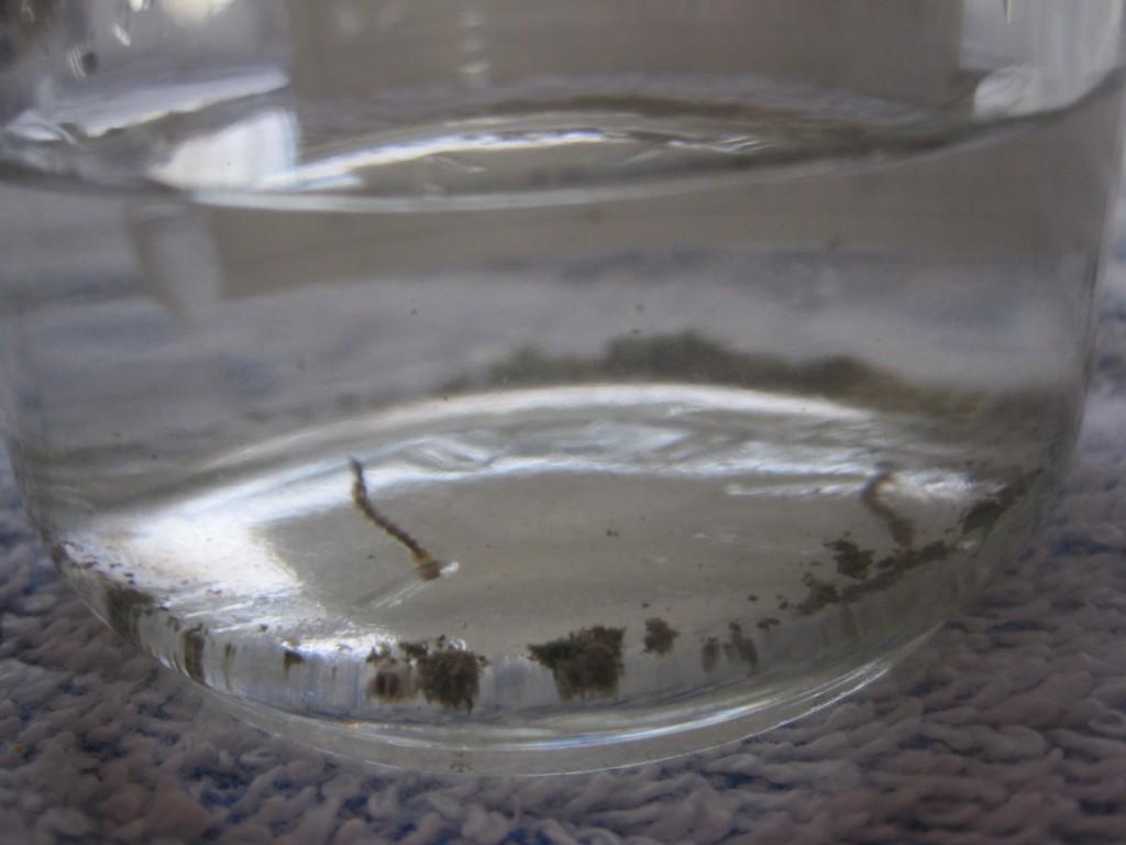 塩が加えられ塩分濃度が上がった雨水の中のボウフラ