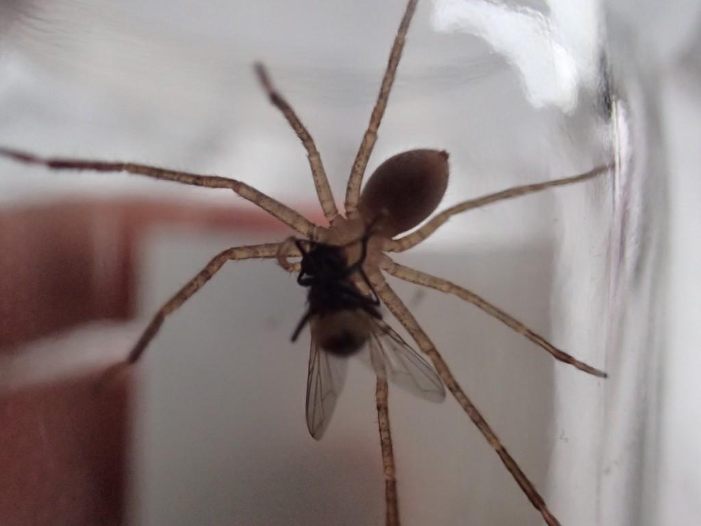 害虫ハエを捕食するアシダカグモ