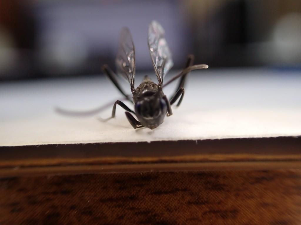 トックリバチ(蜂)を前方から至近距離で撮影