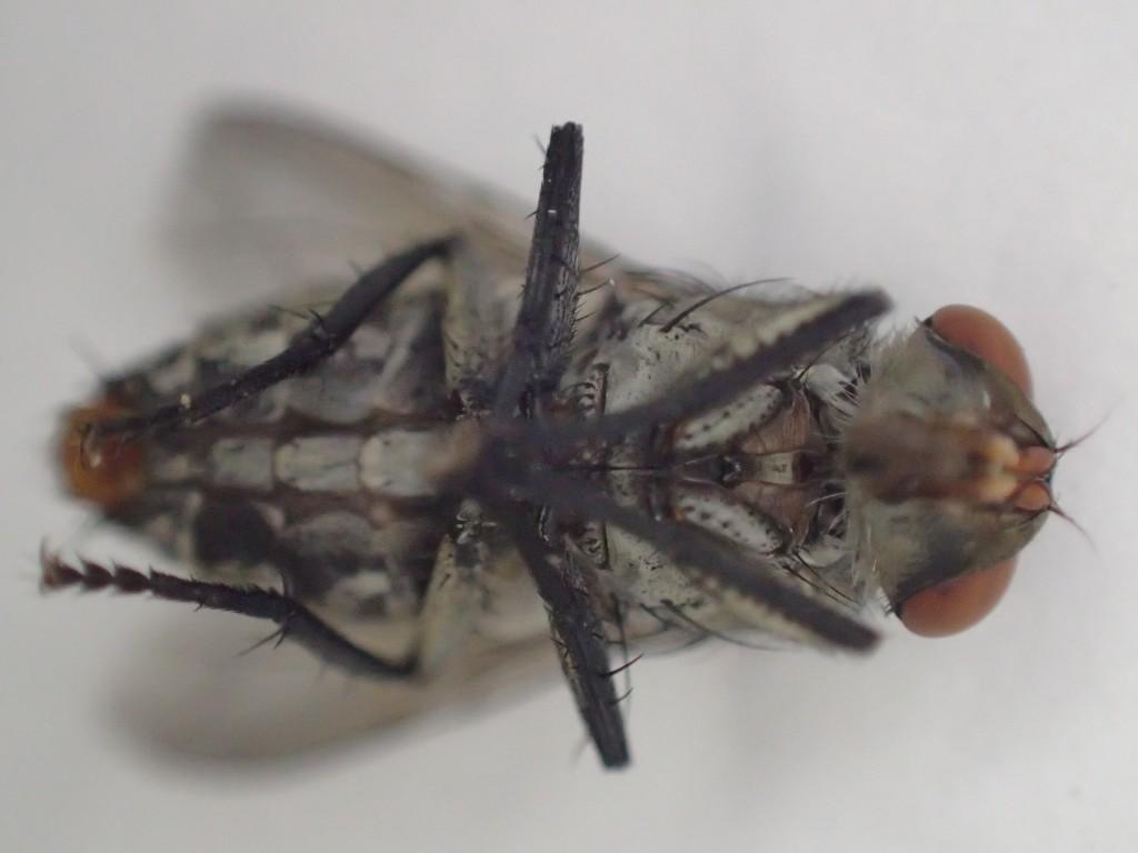 センチニクバエは様々な細菌・バイ菌を伝播する害虫