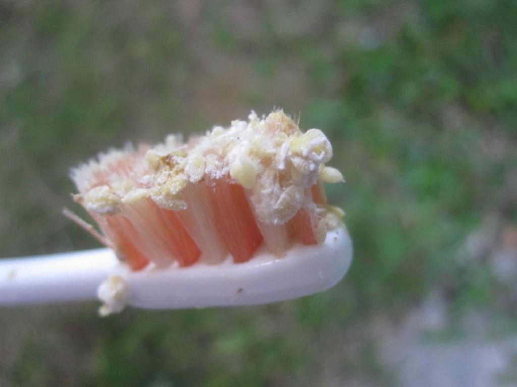ミカンコナカイガラムシが付着した歯ブラシ