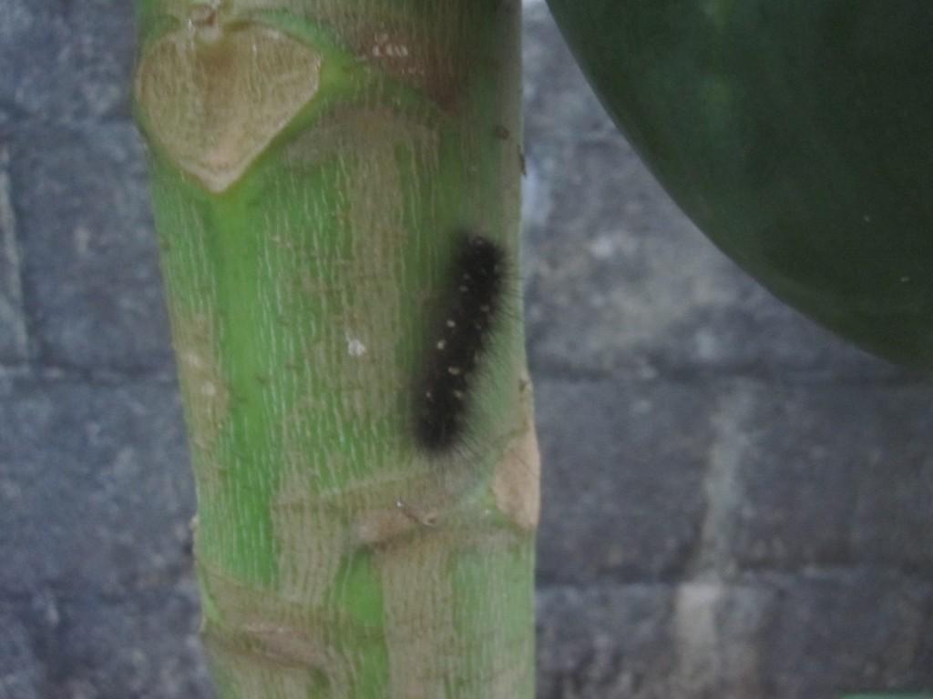 パパイア[パパイヤ]の果樹に黒い毛虫を発見