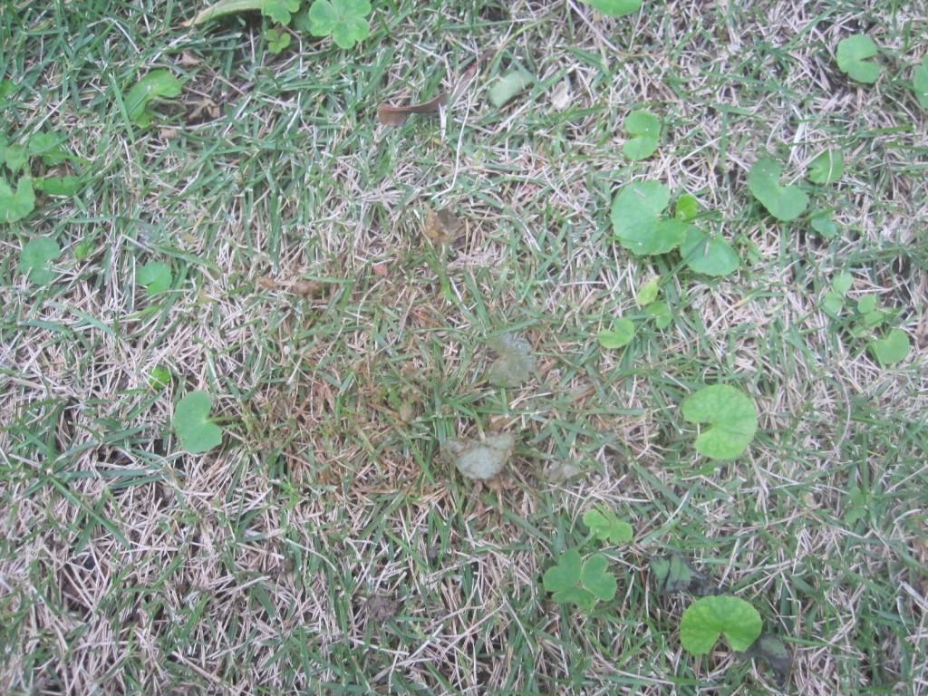 野良猫が排便した芝生の上は黒く濁り、次第に枯れていく