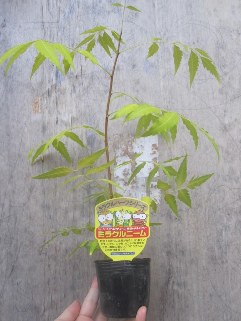 虫除け植物ミラクルニームの苗木