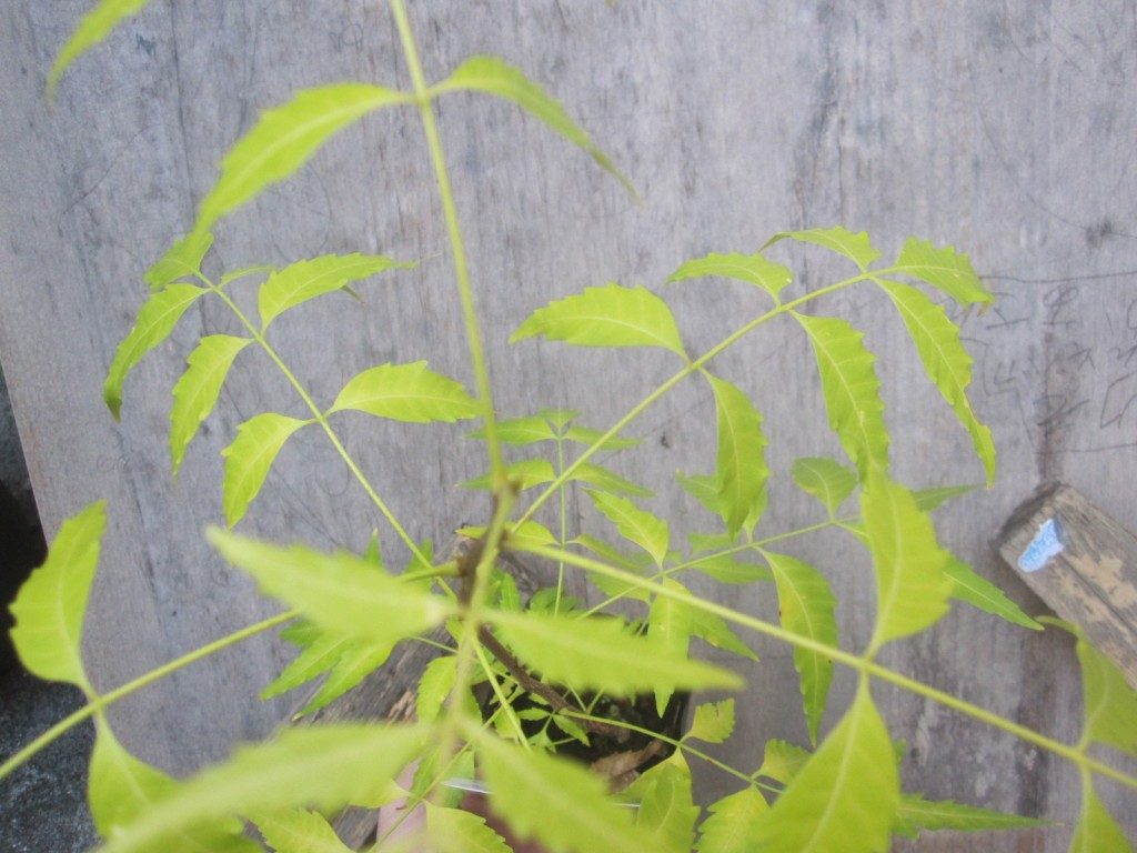 高さ30センチほどの生育状況のニーム苗