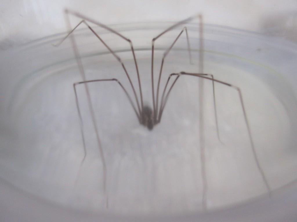 とても細長い足をしたイエユウレイグモ(家幽霊蜘蛛)