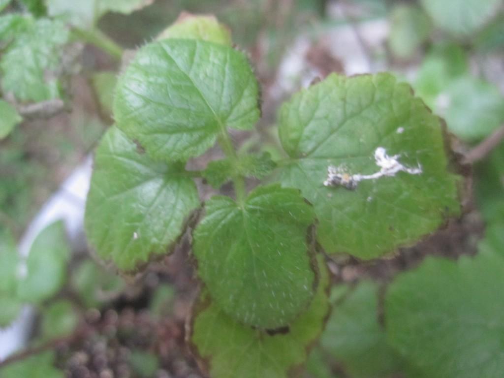 ハーブ植物・香草レモンバームの上で腐ちたカイガラムシ